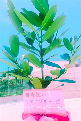 フクギ幸福の木