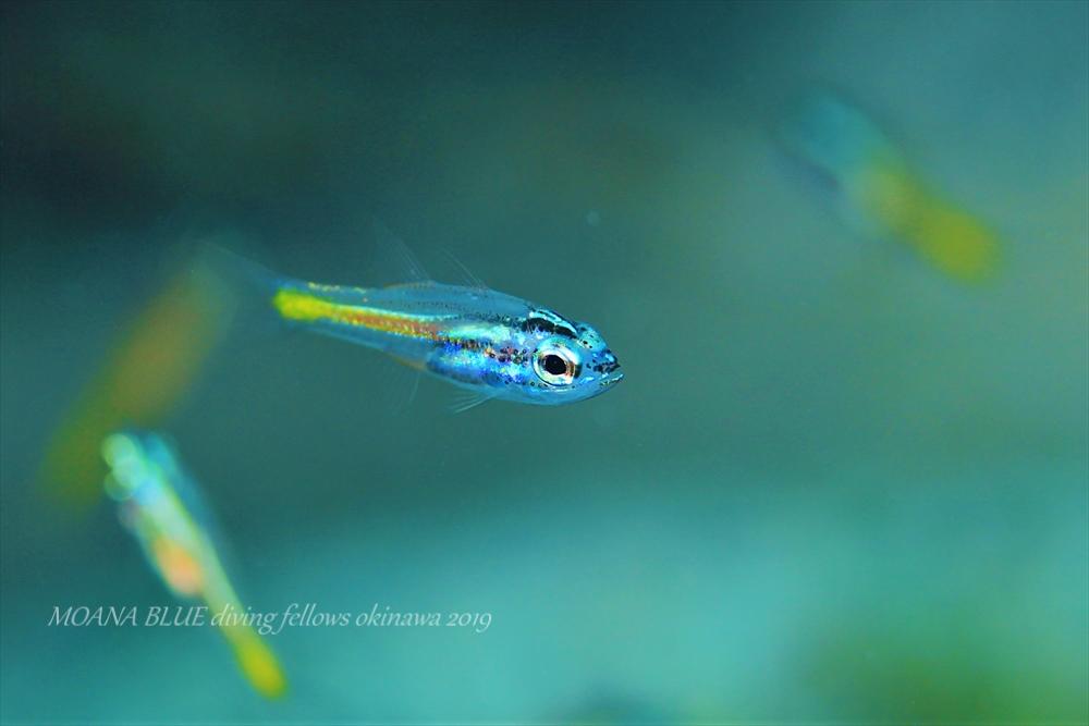 キンセンイシモチの幼魚
