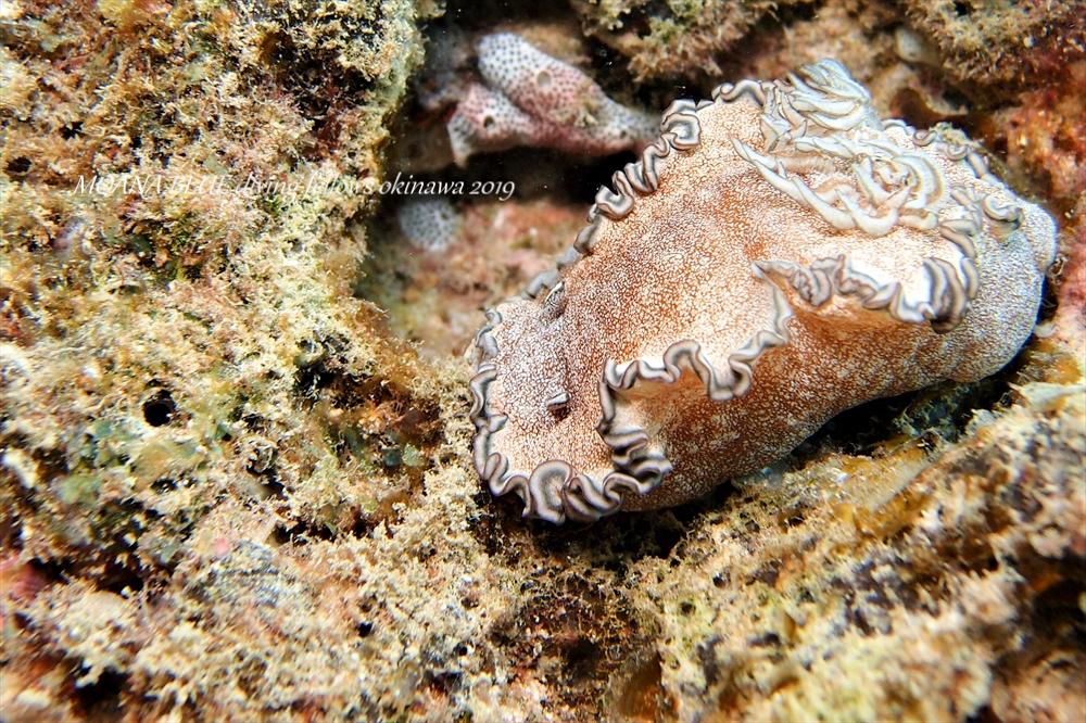 タヌキイロウミウシ