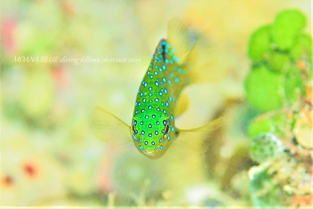 ルリホシスズメダイの幼魚