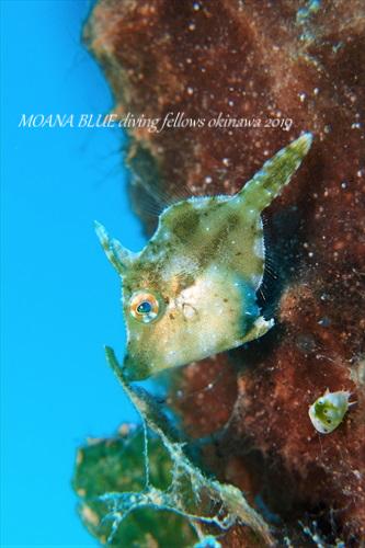 フチドリカワハギの幼魚