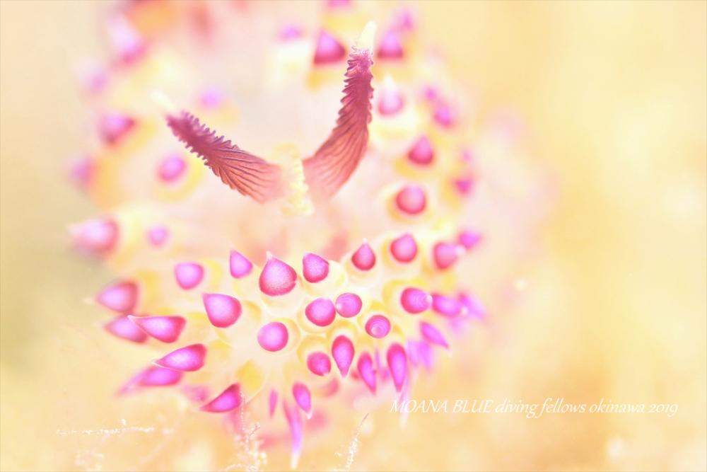 サーシャコヤナギウミウシ