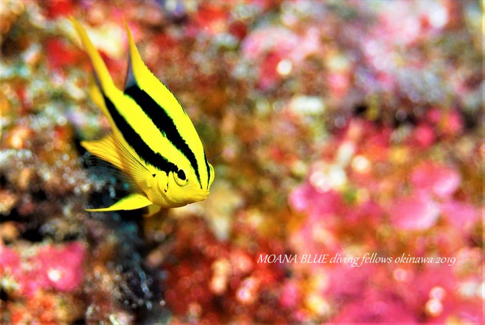 ヒレナガスズメダイの幼魚