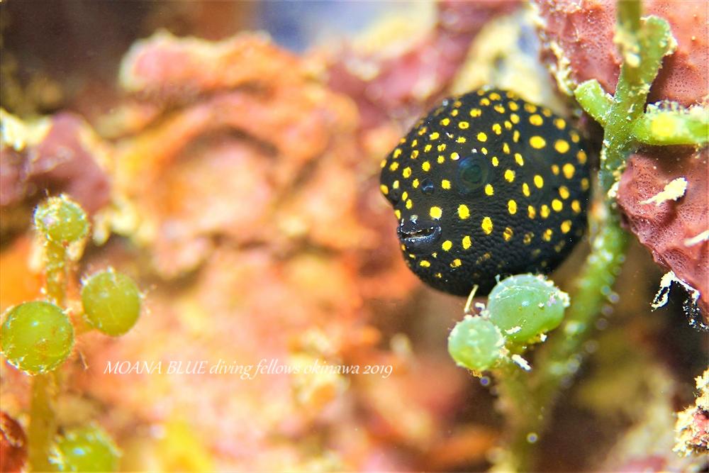 ミゾレフグの幼魚
