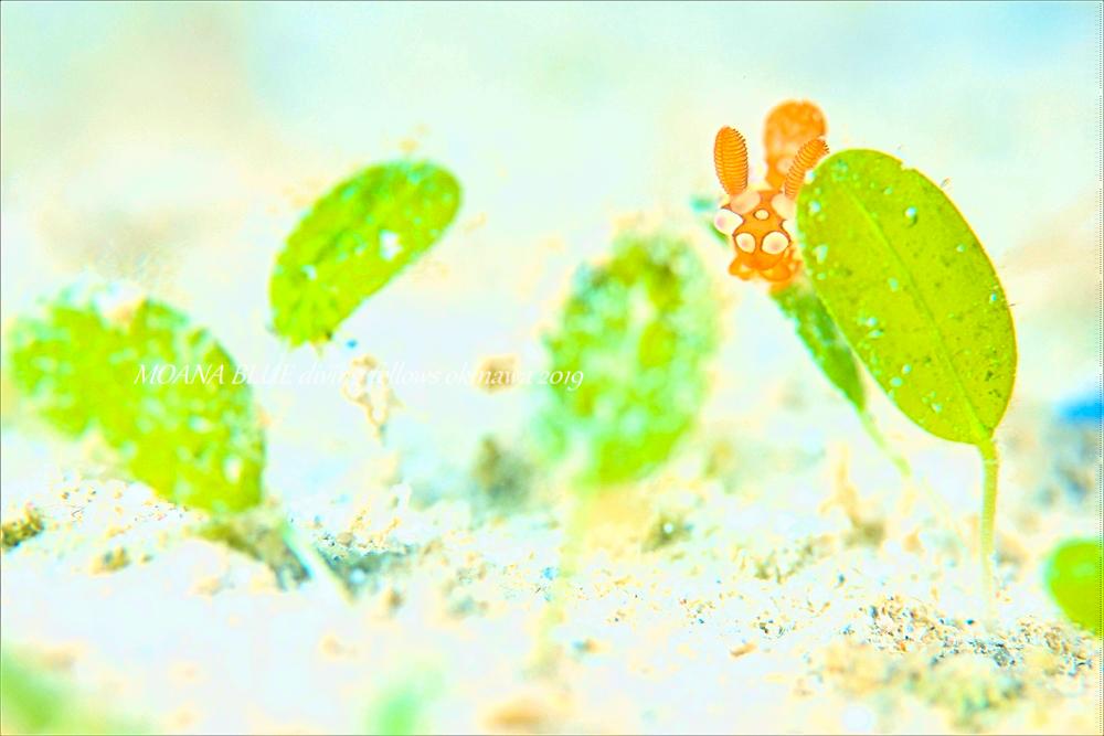 ニシキリュウグウウミウシ属の一種