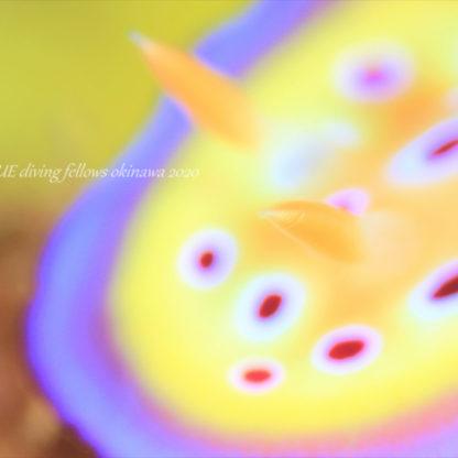 オトヒメウミウシ