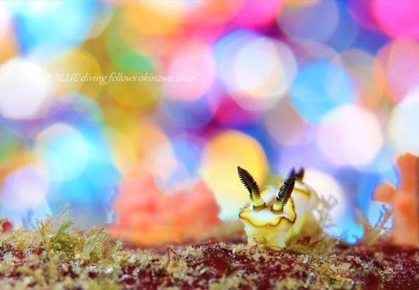 キイロウミウシ