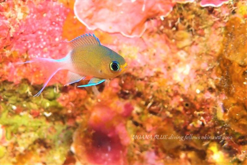 マルスズメダイの幼魚