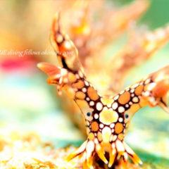 ヒオドシユビウミウシ