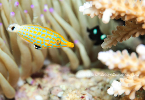テングカワハギの幼魚