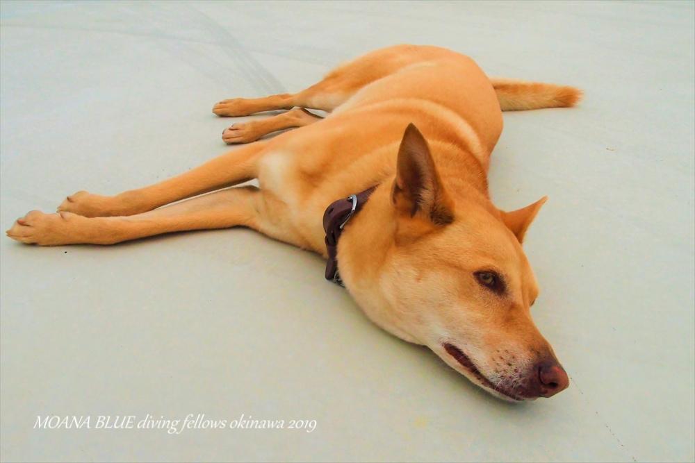 モアナブルー沖縄看板犬