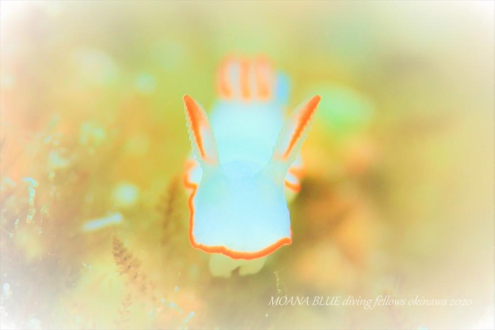 シノビイロウミウシ