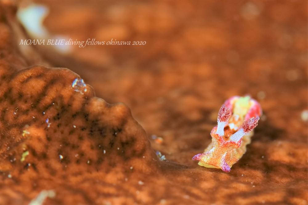 ネコジタウミウシ属の一種