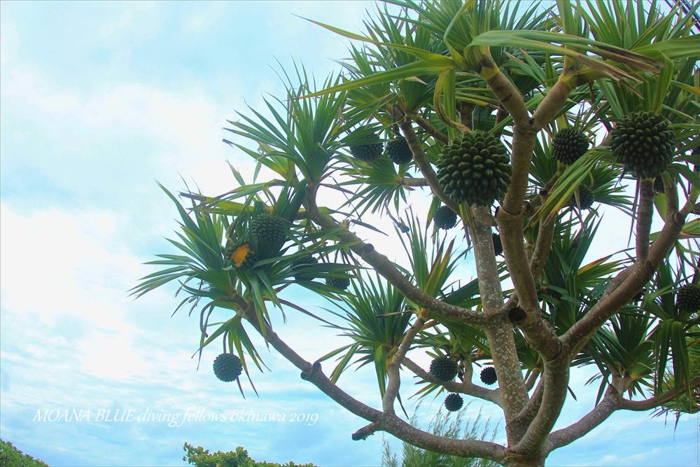 沖縄アダンの木
