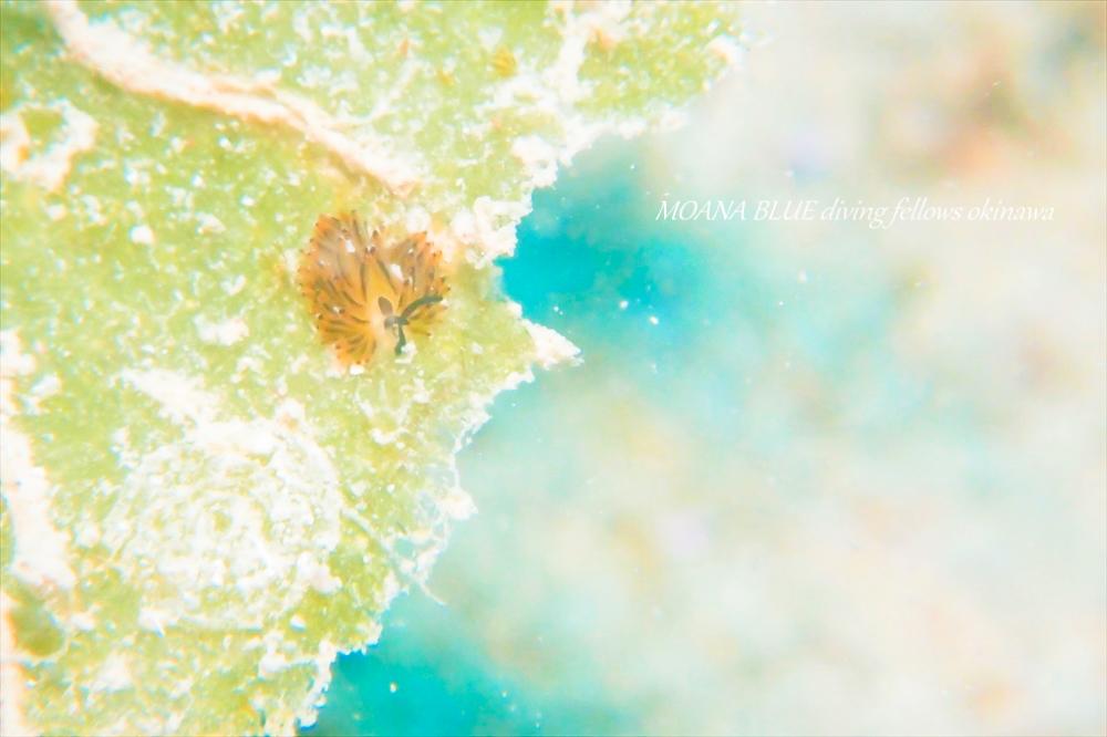 イリオモテモウミウシ
