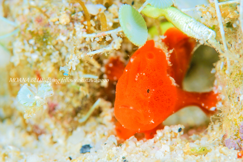 カエルアンコウの幼魚