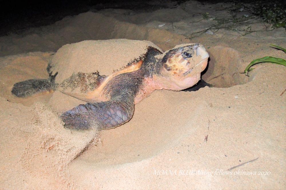 アカウミガメの産卵