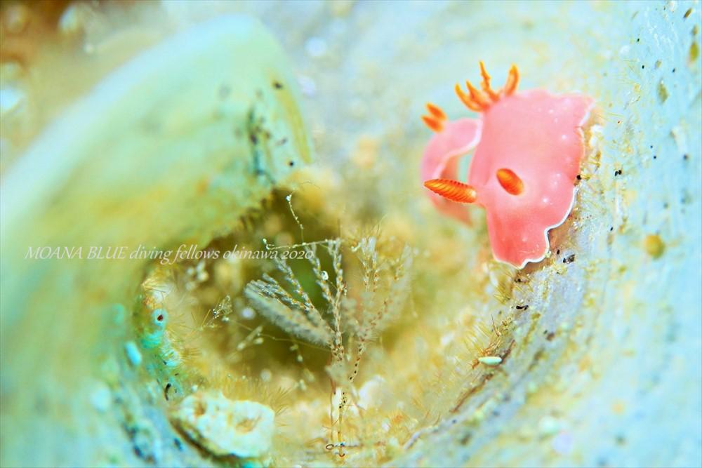 アミメシラユキウミウシ