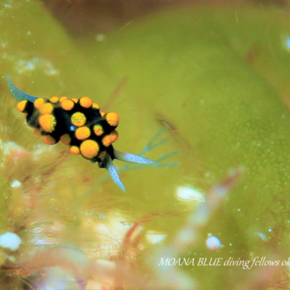 ウミウシダイビング|テントウウミウシ