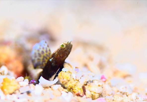 ホタテツノハゼの幼魚