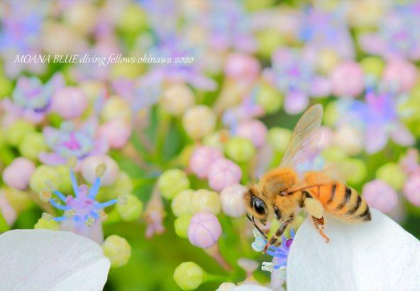 みつばちと紫陽花