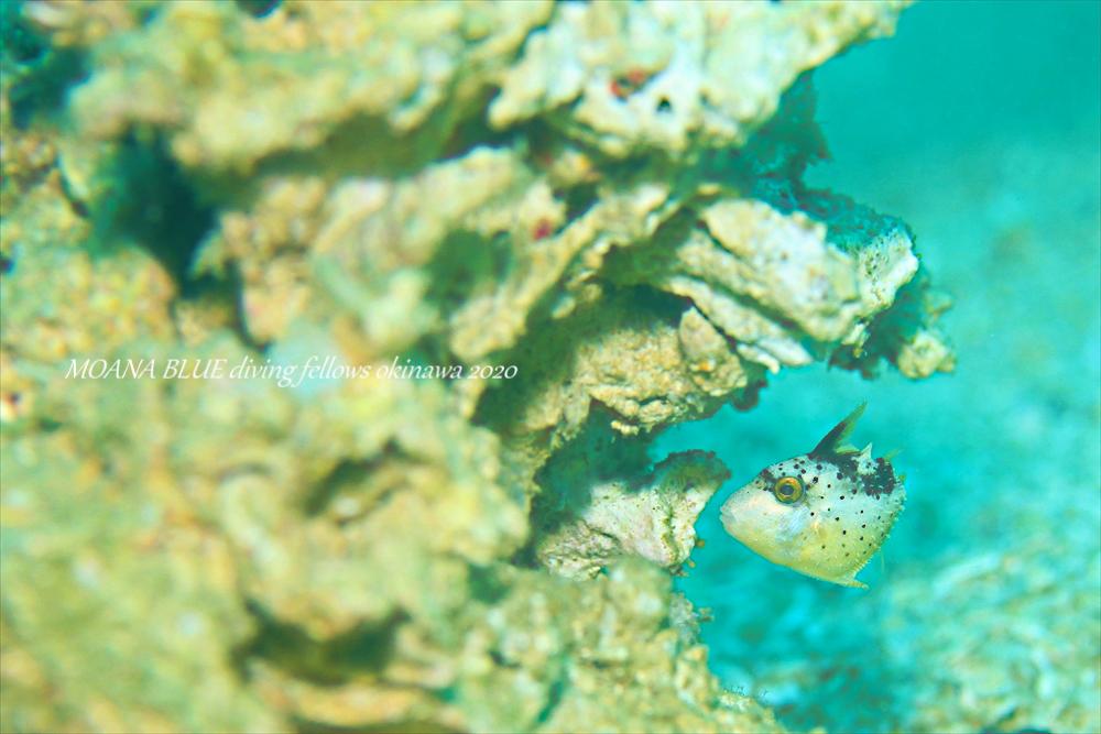 ゴマモンガラの幼魚