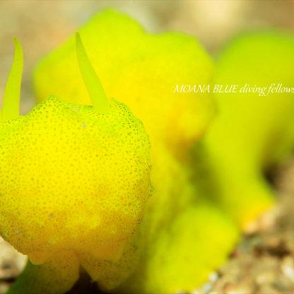 レモンウミウシ