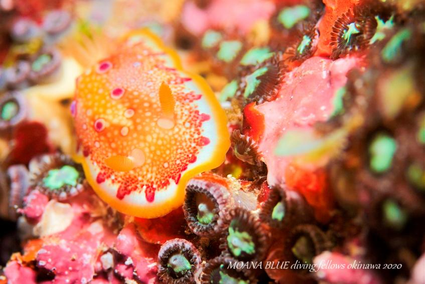 ヒャクメウミウシ