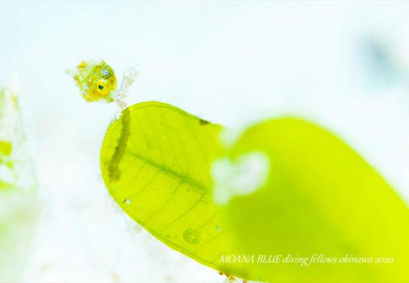 セダカカワハギの幼魚