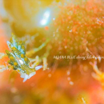 バロニアモウミウシ