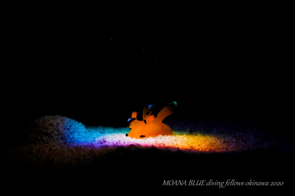 虹撮|ウデフリツノザヤウミウシ