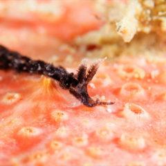 クロフサツノミノウミウシ