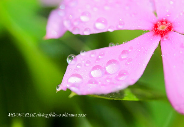 ニチニチソウ|日々草