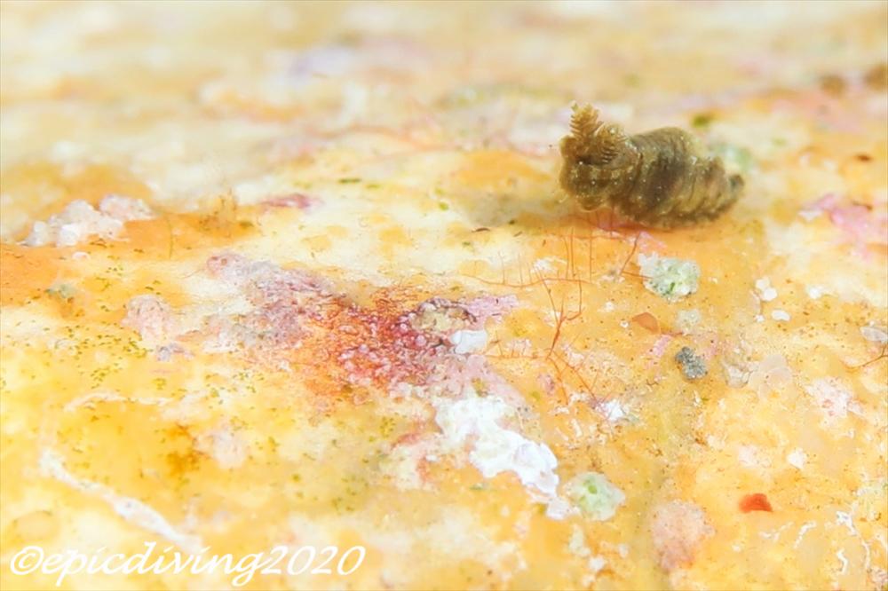 チャイロオウカンウミウシ