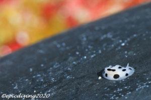 ミズタマイボウミウシ|水中写真