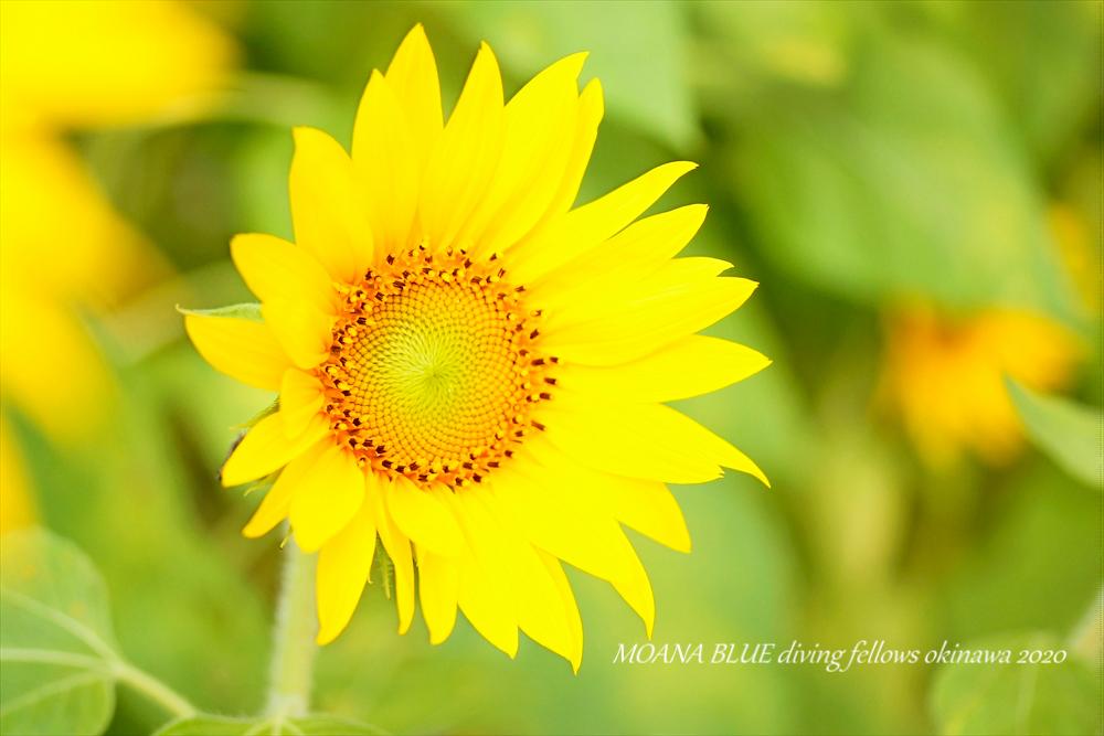 ひまわり|恩納村向日葵