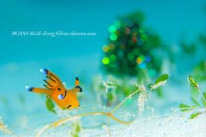 ウデフリツノザヤウミウシ 水中写真