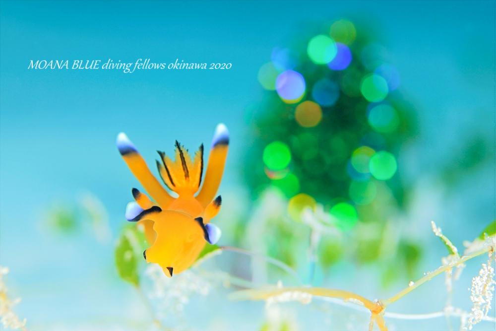 ウデフリツノザヤウミウシ|水中写真