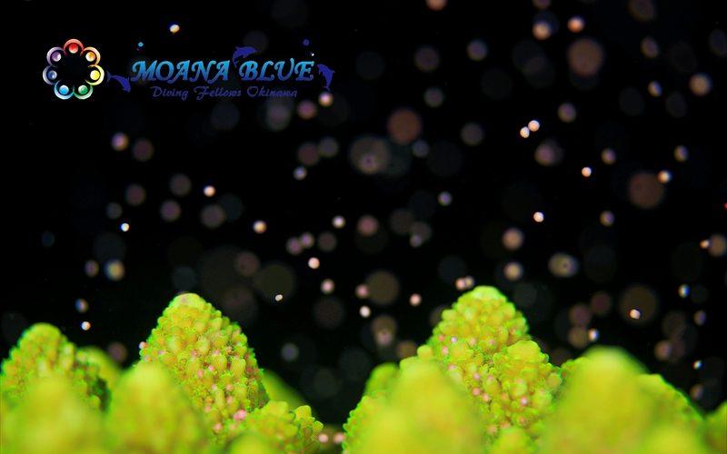サンゴ産卵:ナイトダイビング