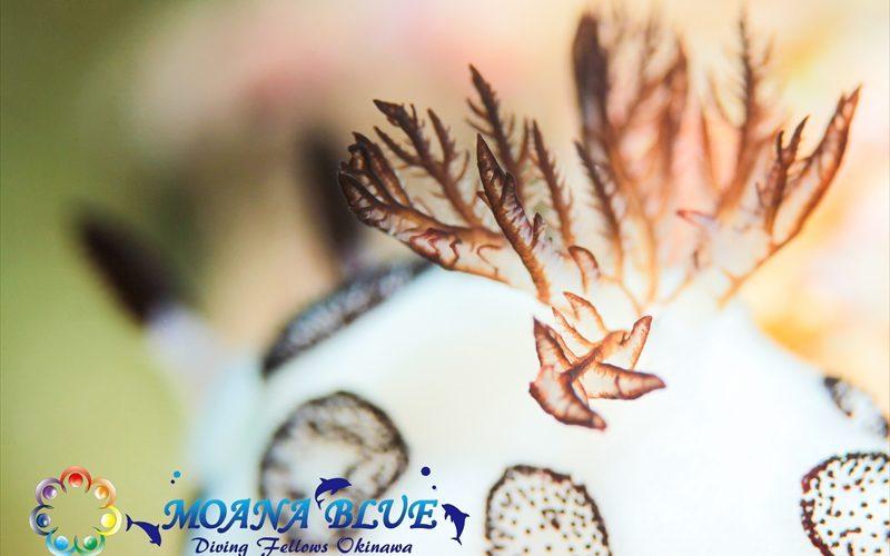 二次エラ撮り:ブチウミウシ