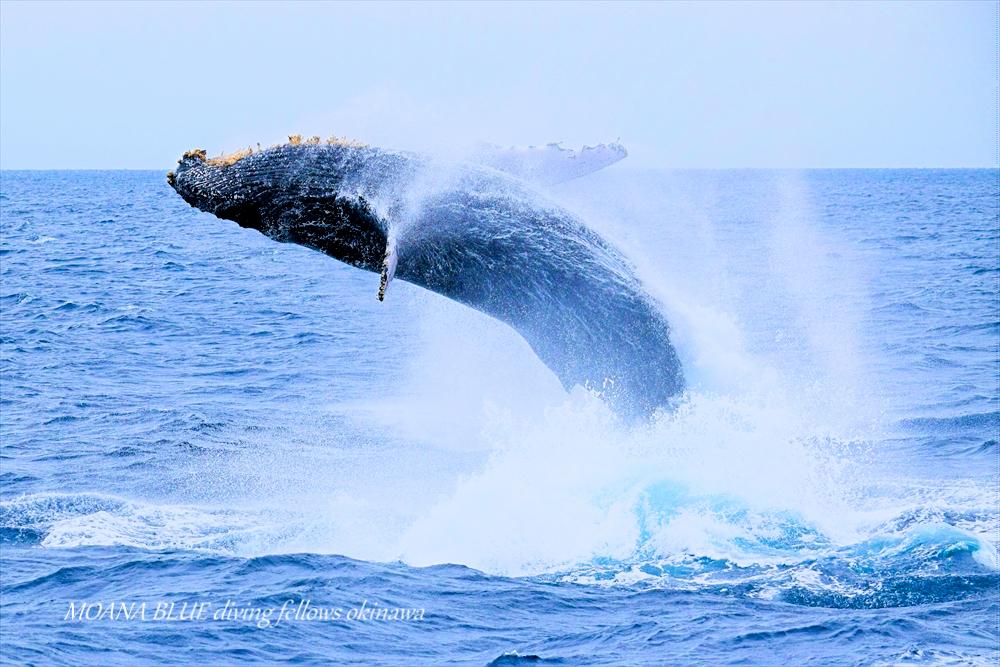 ザトウクジラ|沖縄恩納村ホエールウォッチング