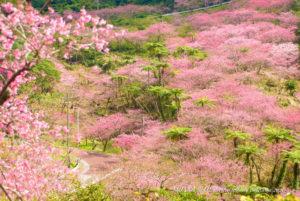 寒緋桜|沖縄八重岳桜まつり