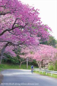 寒緋桜 沖縄八重岳桜まつり