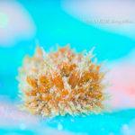 ハナサキコヤナギウミウシ
