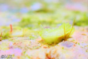 コトヒメウミウシ属の一種