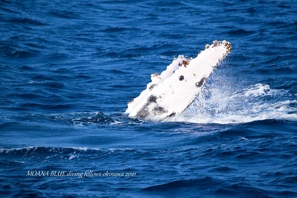 沖縄恩納村ホエールウォッチング ザトウクジラ