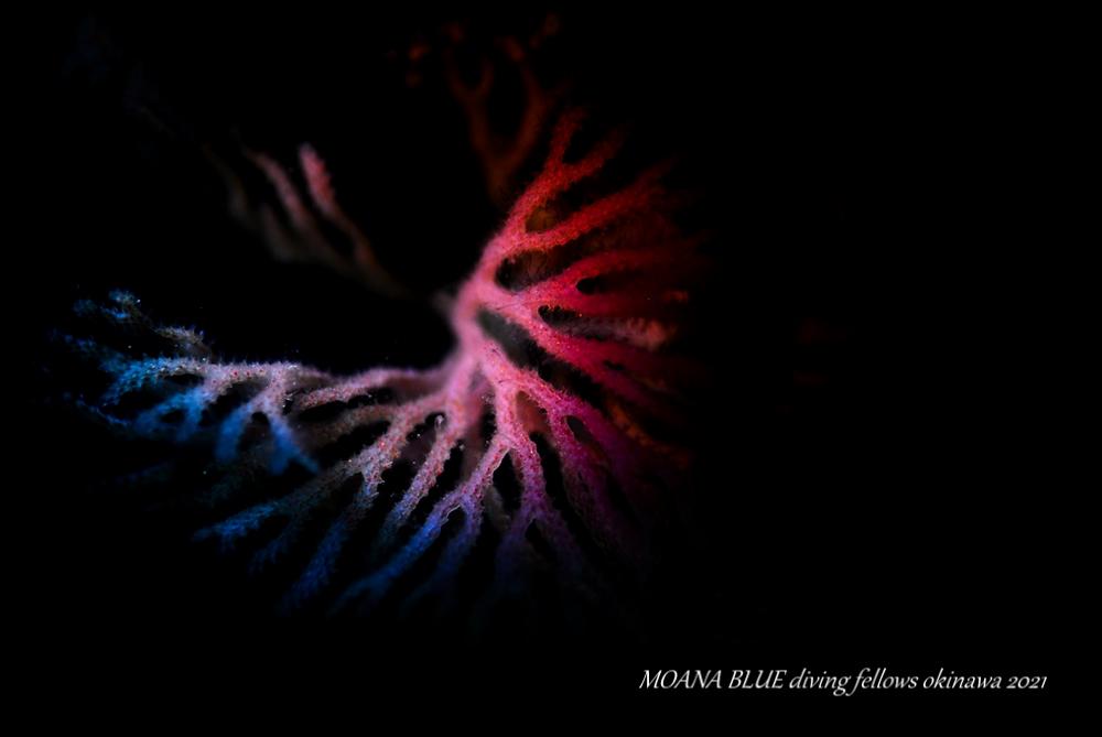 ヒロエダコケムシ|虹撮