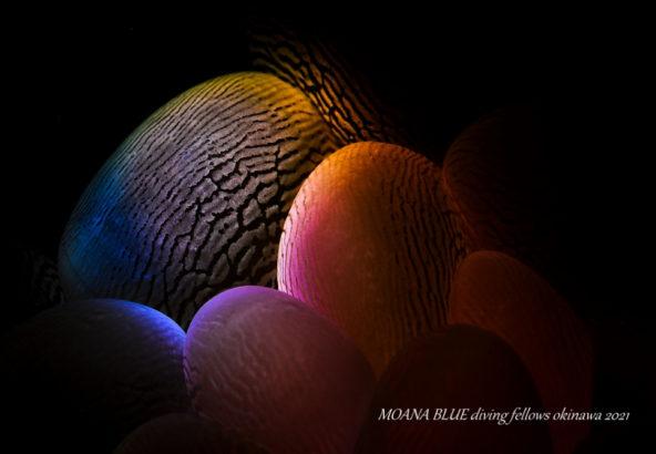 ミズタマサンゴ|虹撮