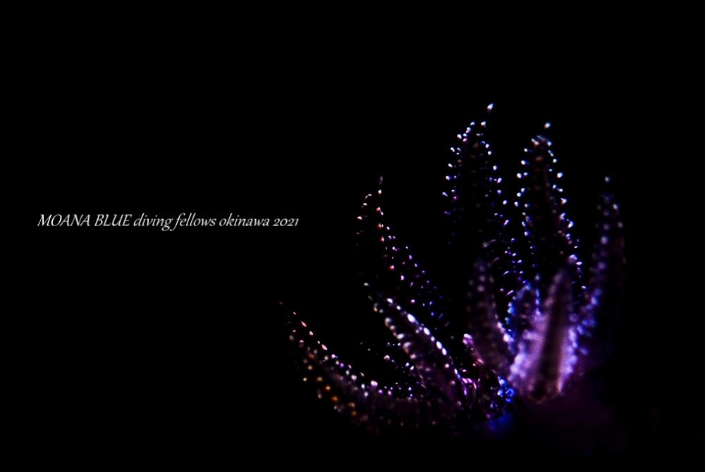 ミゾレウミウシ|虹撮