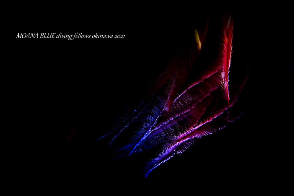 虹撮|オオケヤリ